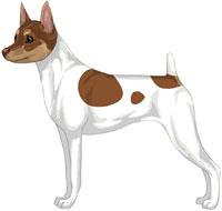 White, Chocolate & Tan Toy Fox Terrier