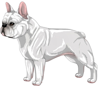 White French Bulldog