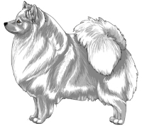 White German Spitz