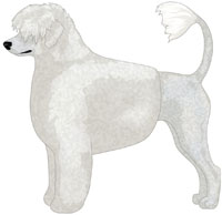 White Portuguese Water Dog