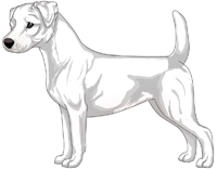 White Smooth Coat Jack Russell Terrier