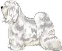 White Tibetan Terrier