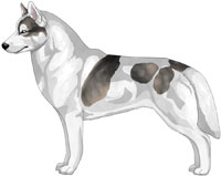 Wolf Grey Piebald Siberian Husky