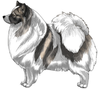 Wolf Sable Parti German Spitz