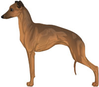 Sable  Sable Italian Greyhound
