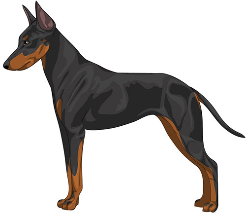 Manchester Toy Terrier