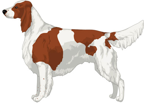 Irish Red and White Setter