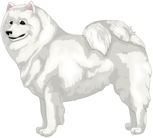 American Dog Eskimo Spitz American Eskimo Dog Club Of America Pictures ...